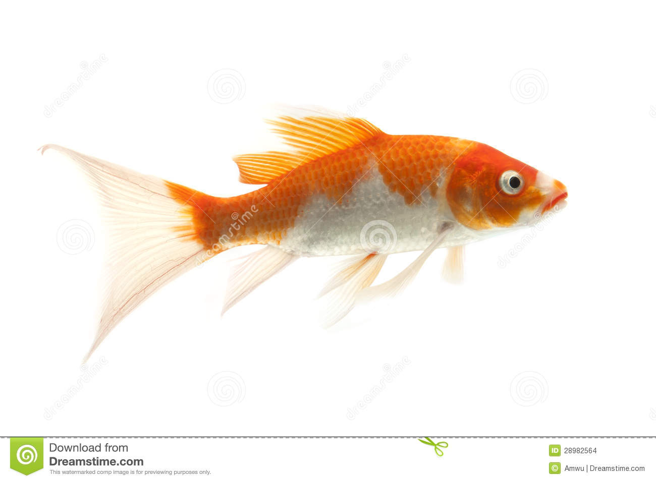 Red and white koi fish stock photo image of domestic for Red koi carp