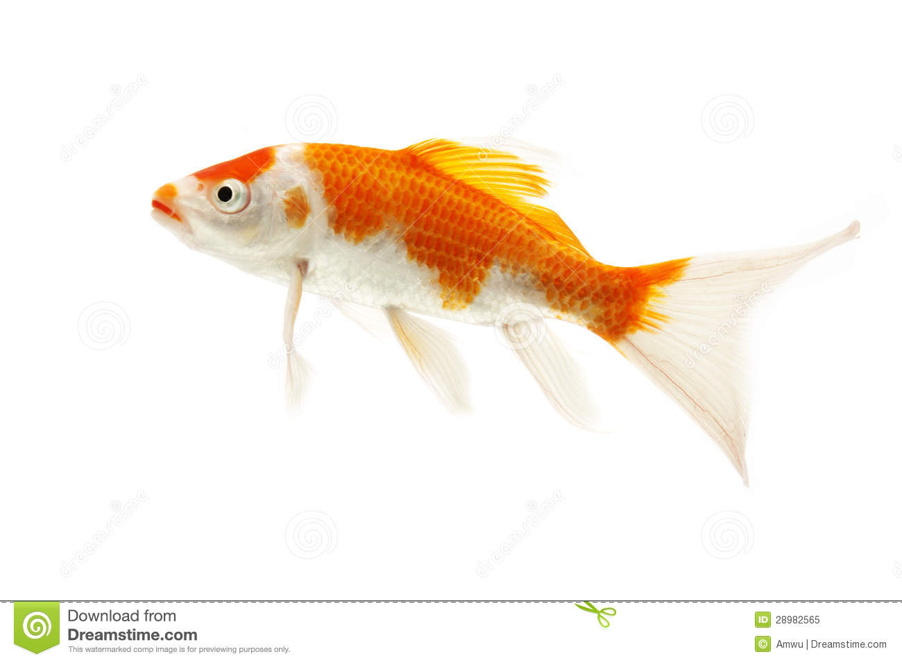 Red And White Koi Fish Stock Image Image Of Background