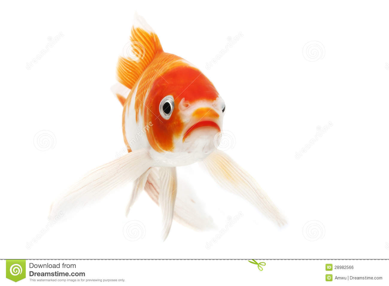 Red and white koi fish royalty free stock image image for Red and white koi fish