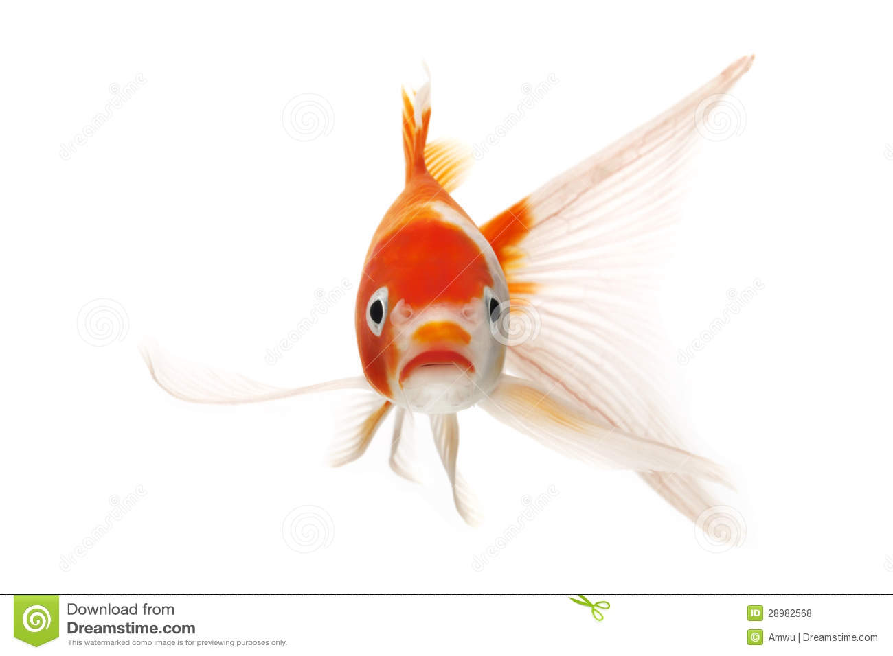 Red and white koi fish royalty free stock photos image for Red and white koi fish
