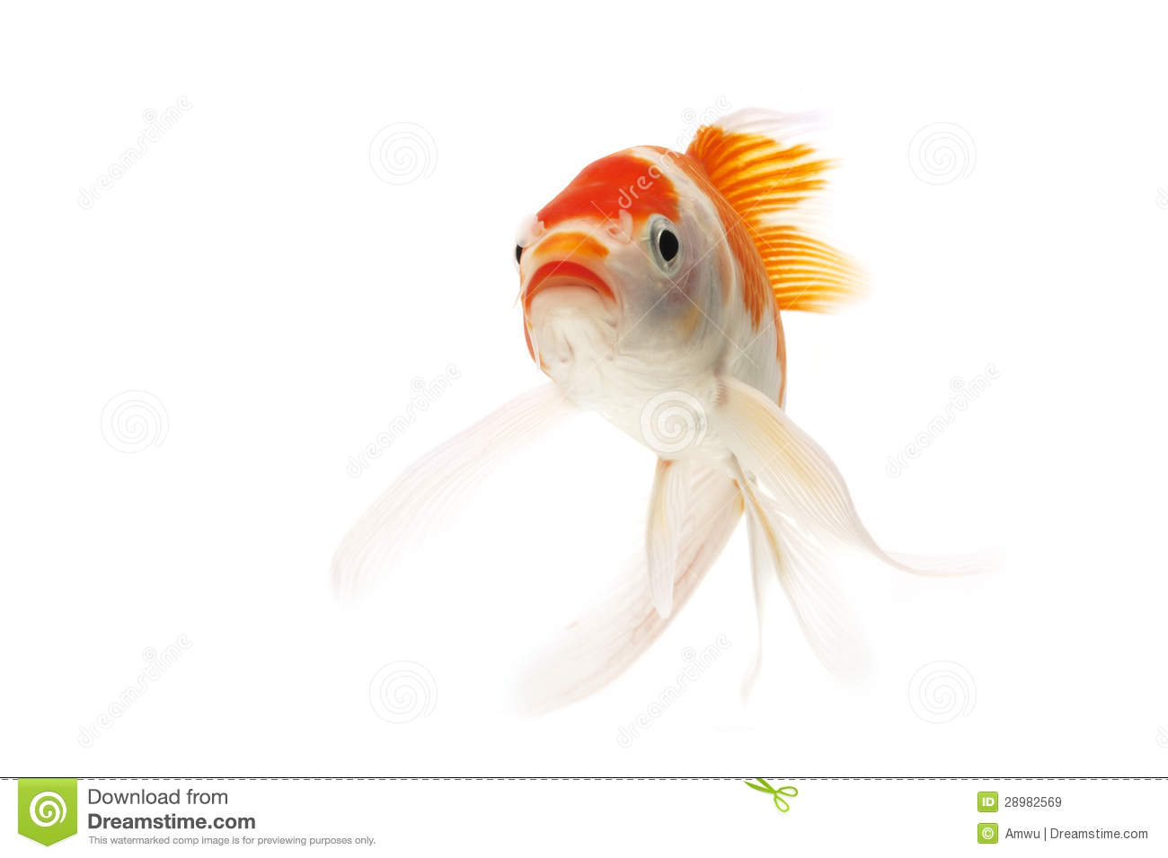 Red And White Koi Fish Royalty Free Stock Images Image