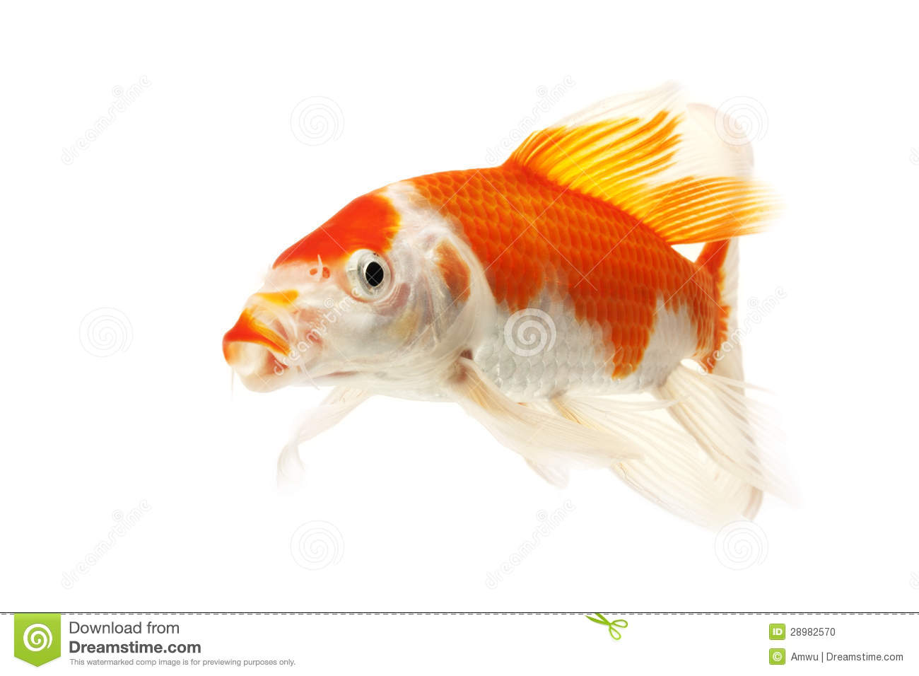 Red and white koi fish stock photo image 28982570 for Red and white koi fish