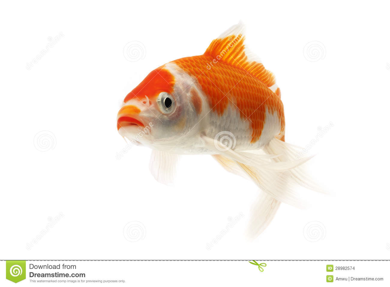 Red and white koi fish stock images image 28982574 for Red and white koi fish