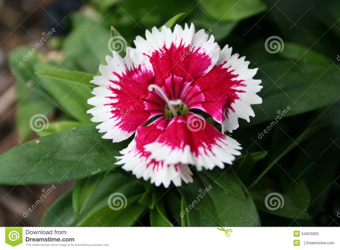 Red and white perennial dianthus stock image image of branch buds red and white perennial dianthus mightylinksfo