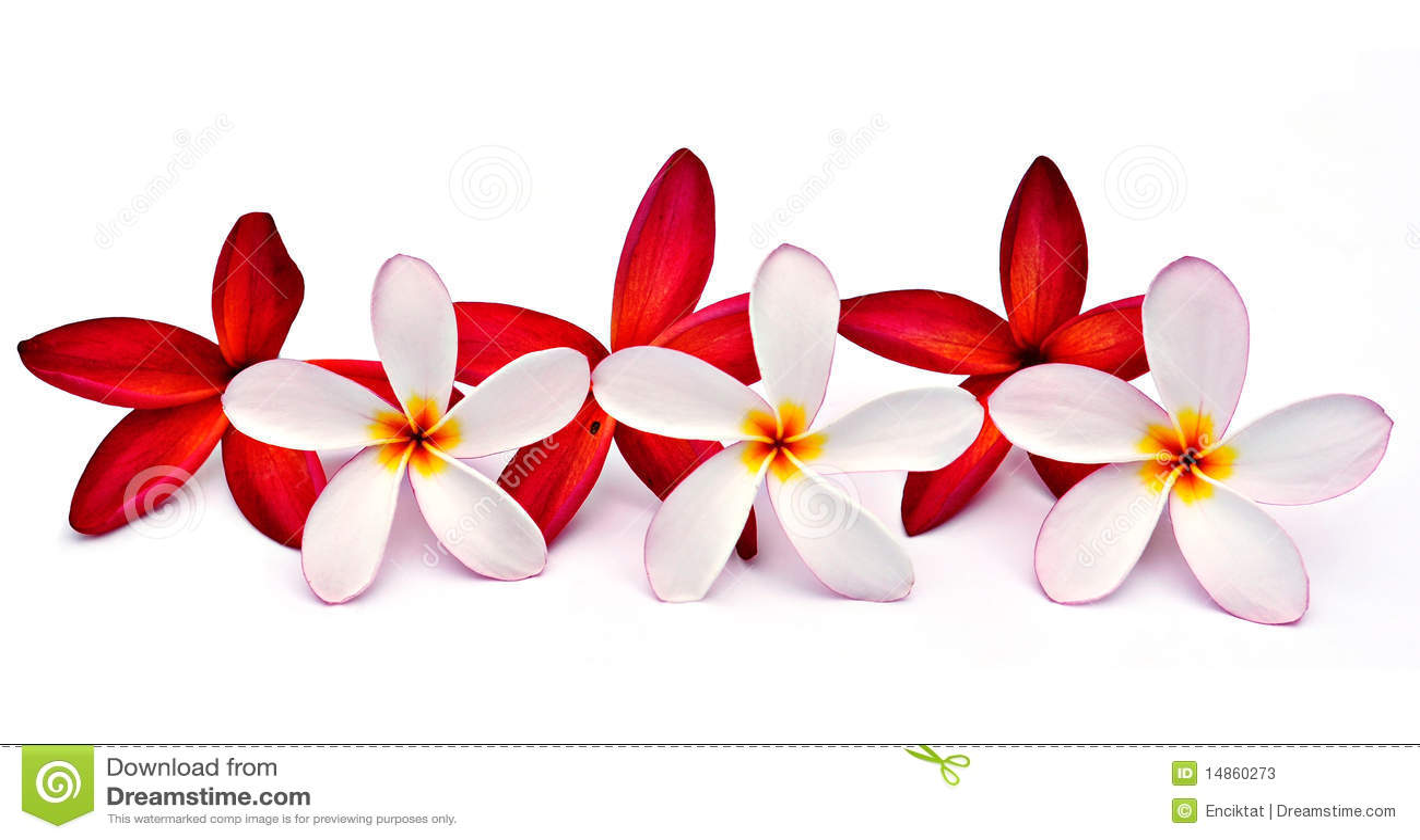 Red and white Plumeria
