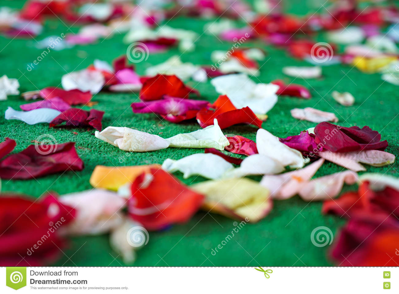 Red White Rose Petals Scattered On Green Carpet Stock Photo Image