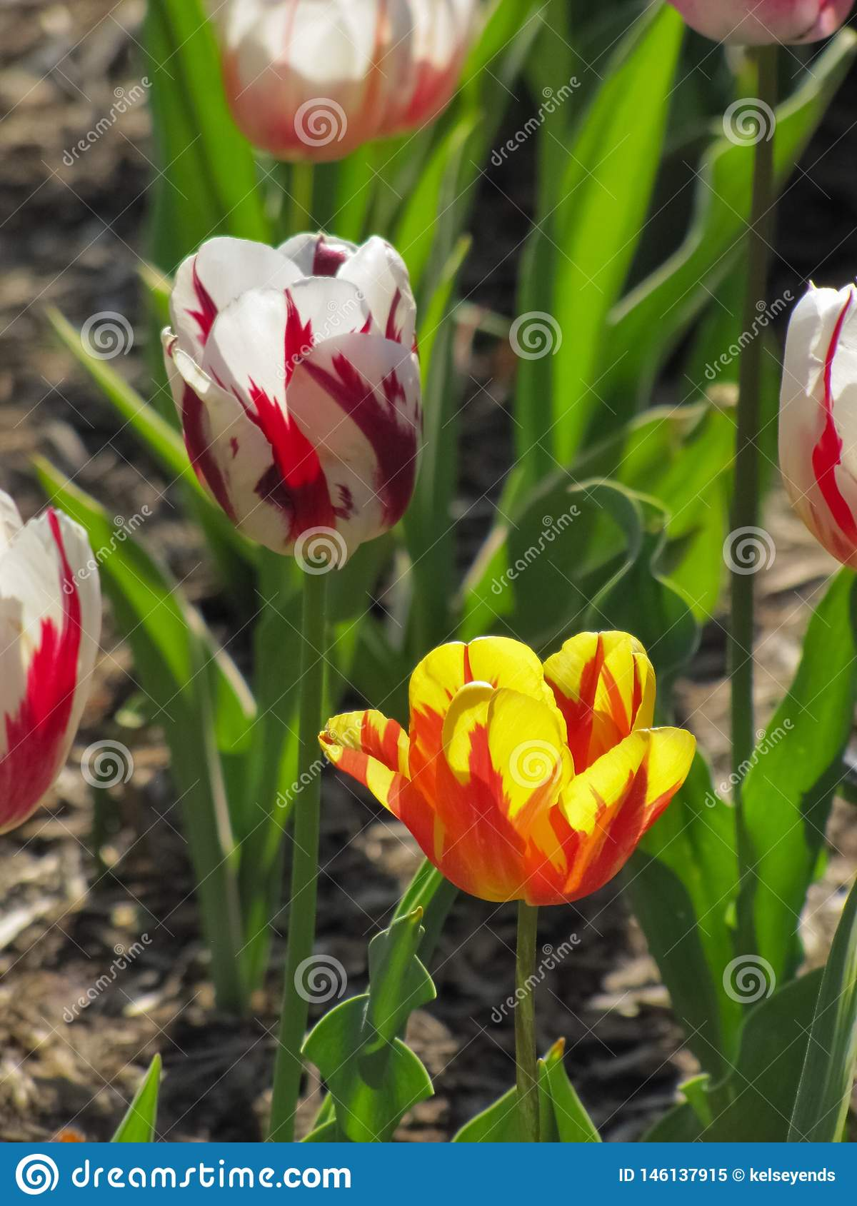 Red and White Tulip with Yellow and Orange Tulip