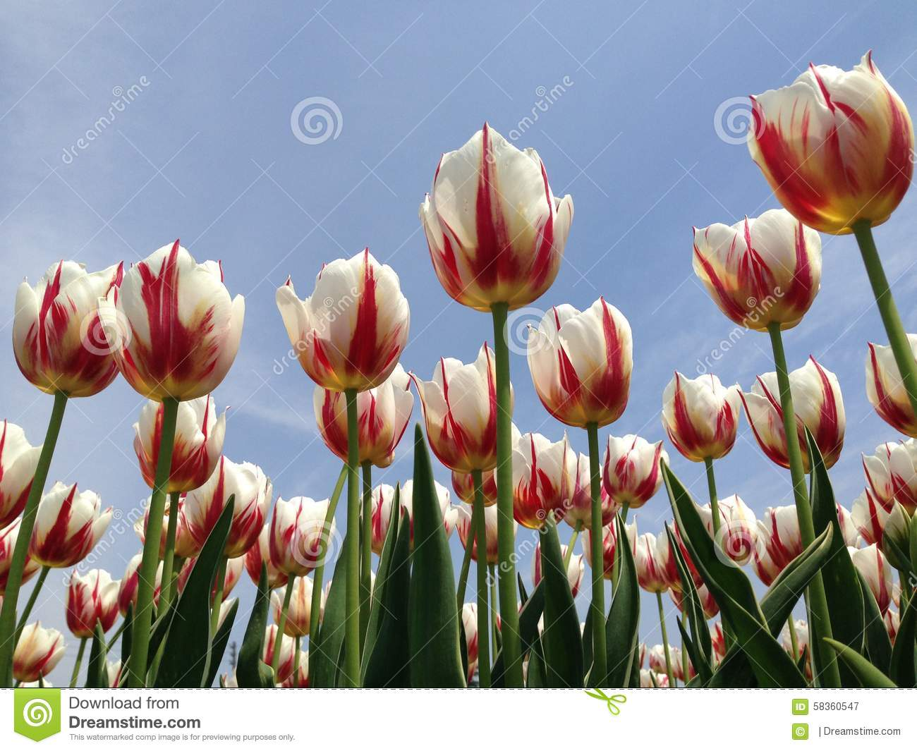 Red And White Tulps Stock Image Image Of Cool Drips 58360547