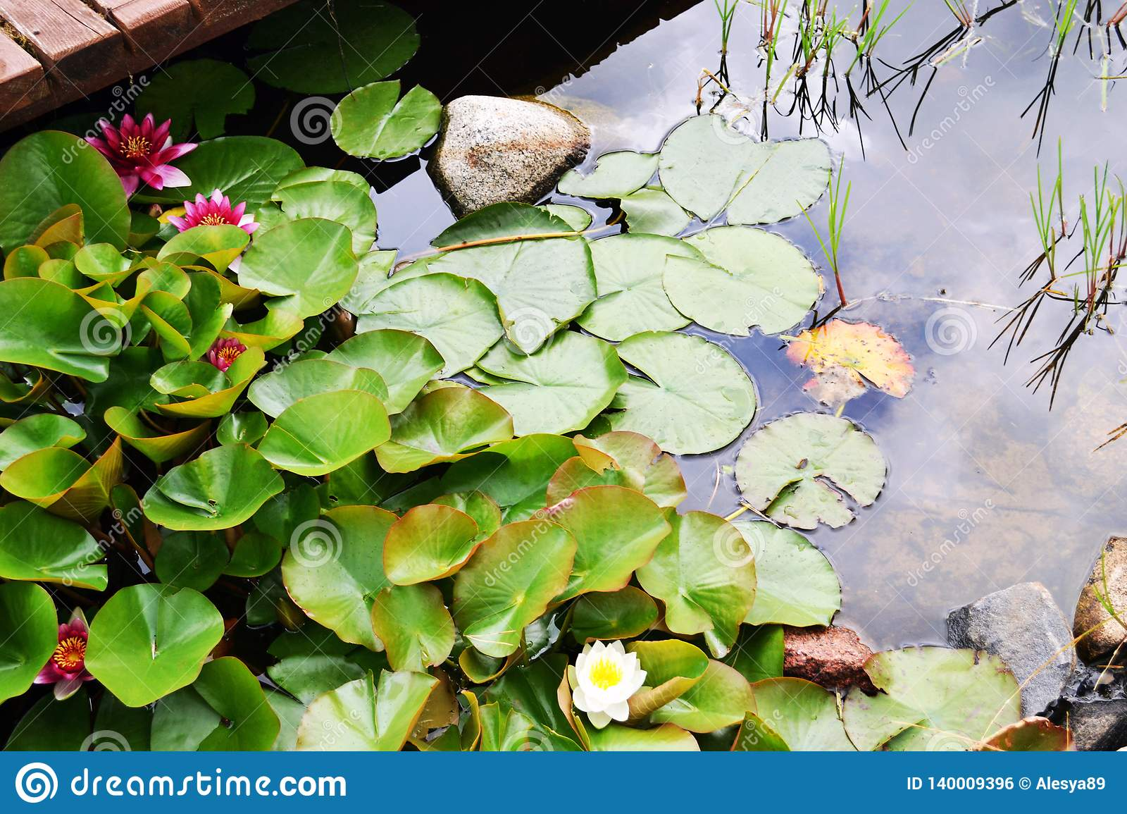 Red and white water lilies floating on the water with green leaves in the shape of hearts near the platform