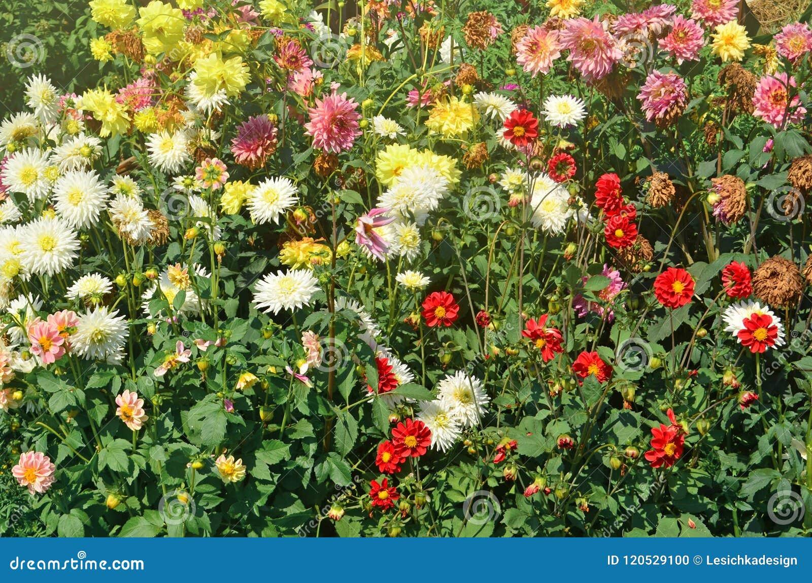 Dahlia Flowers In Garden Stock Photo Image Of Bright 120529100