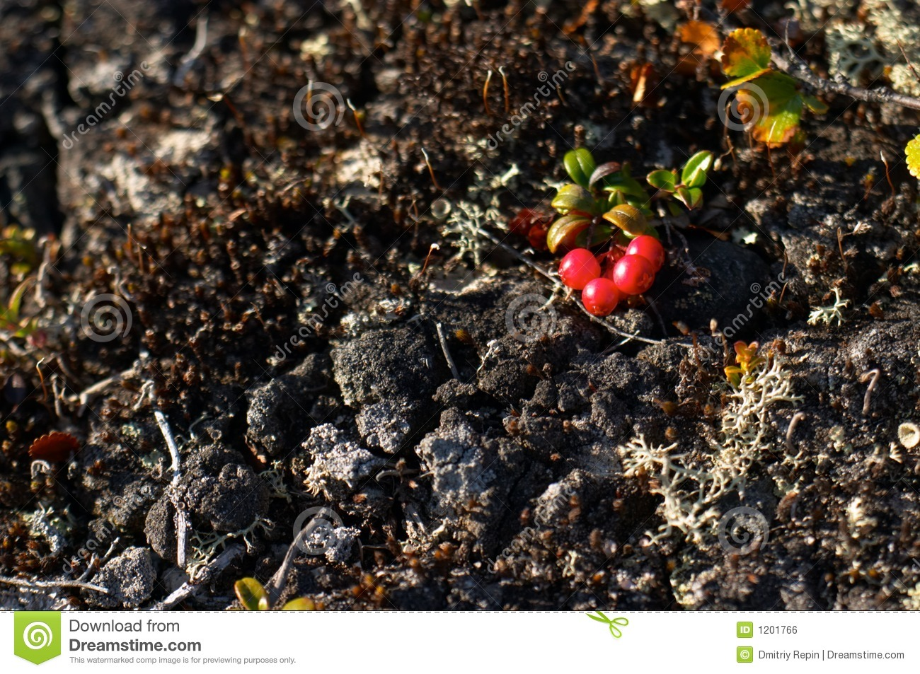 Red whortleberry (cowberry)