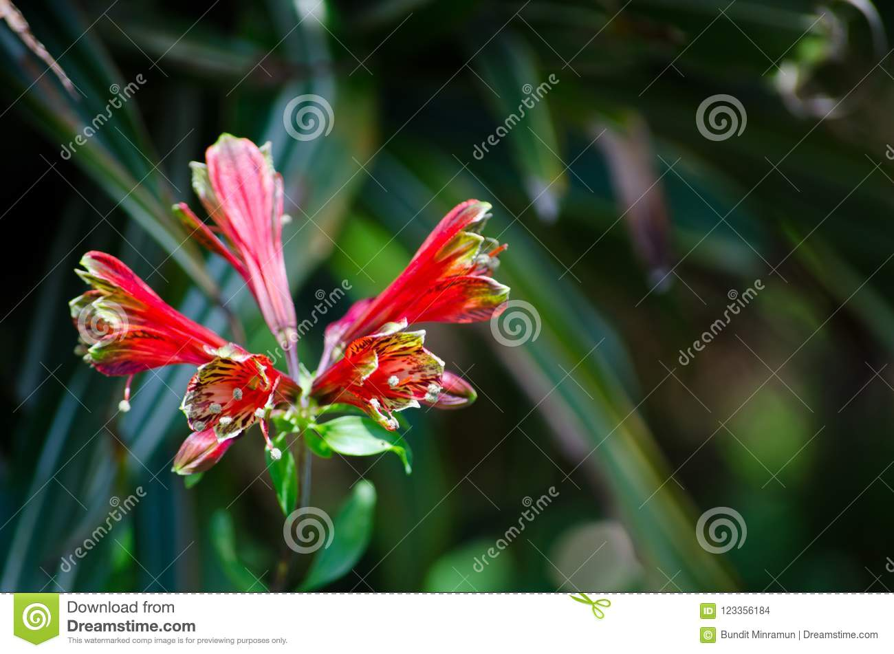 Red Wild Lily Buds Flowers At A Botanical Garden Stock Photo
