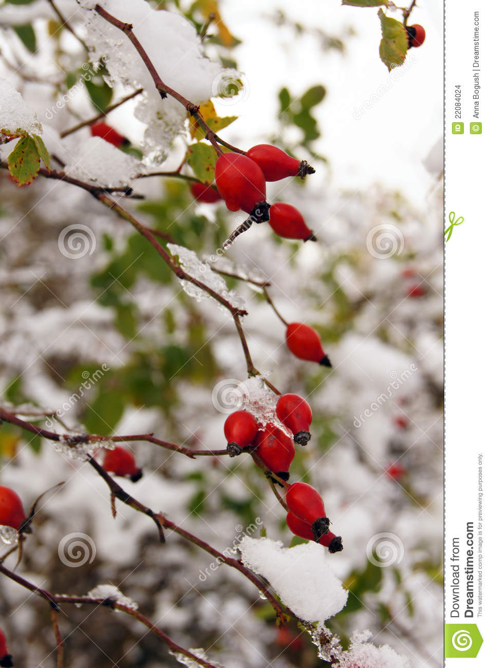 Red Wild Rose Hips Under The Snow Stock Photo Image Of