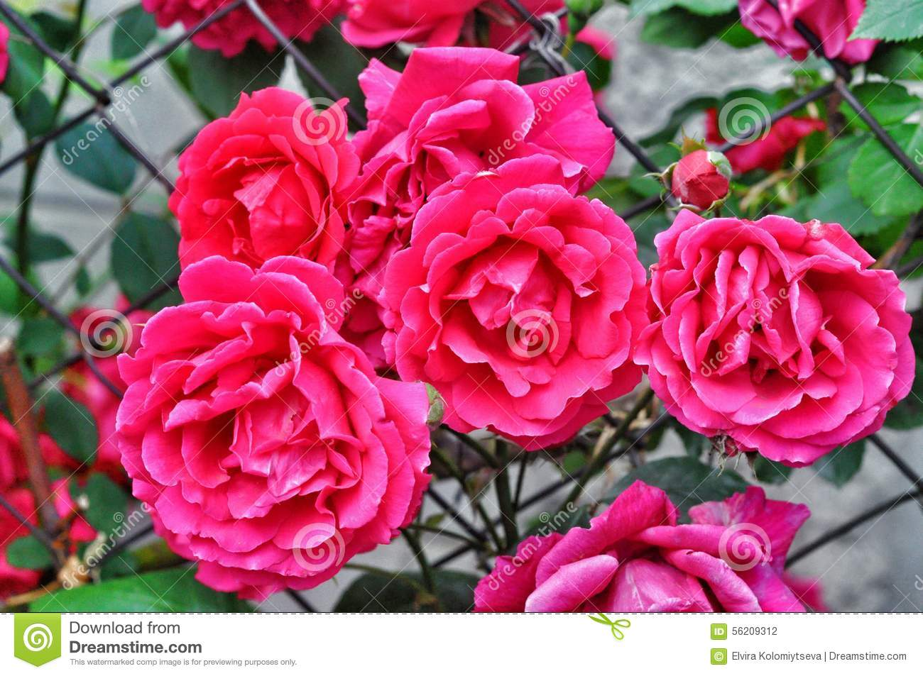 Shrub roses soft colors royalty free stock image for Natural rose colors