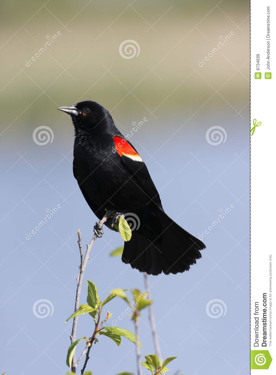 red winged blackbird coloring pages - photo#18