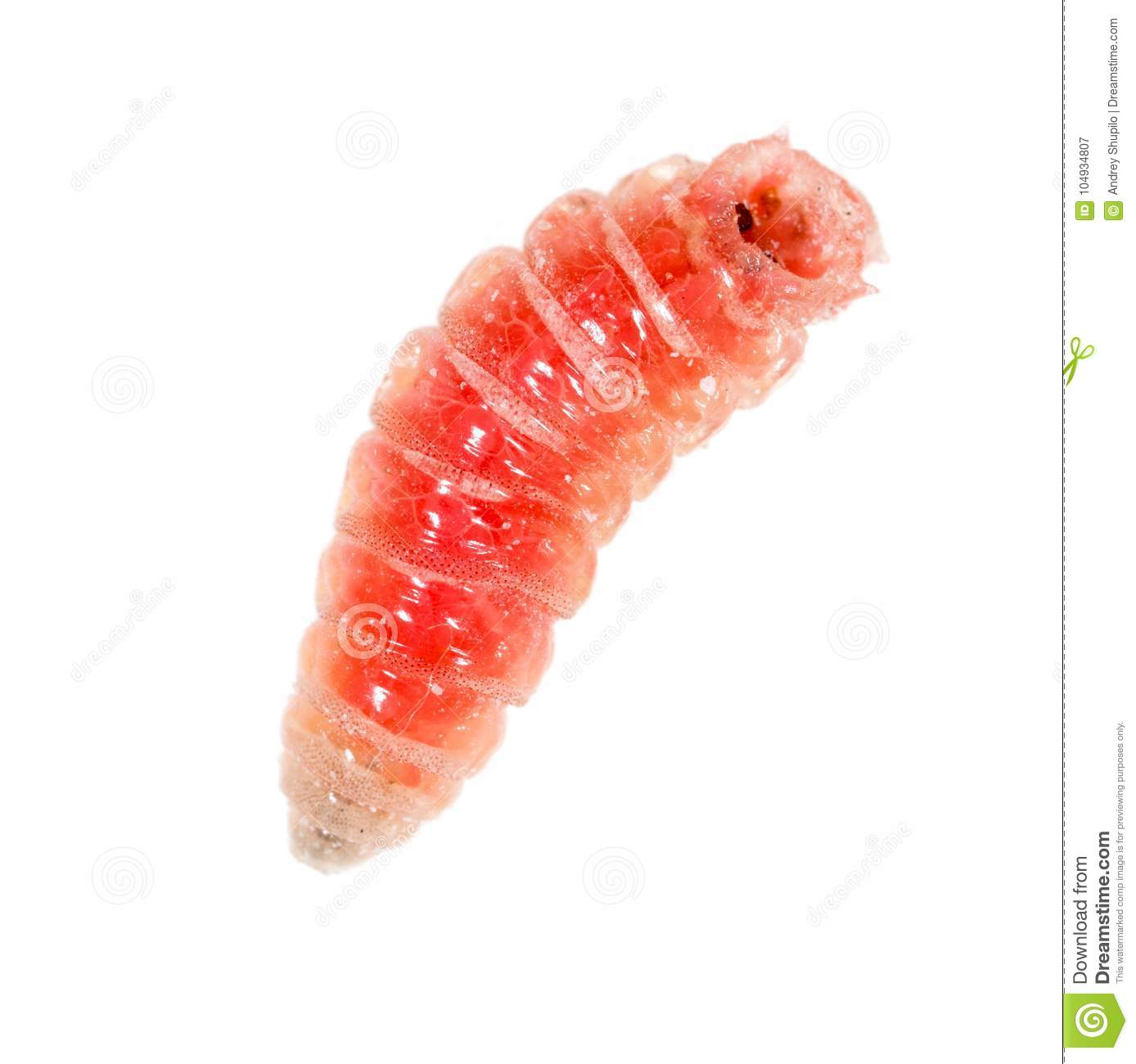 Red Worm Of Maggots On A White Background Stock Image