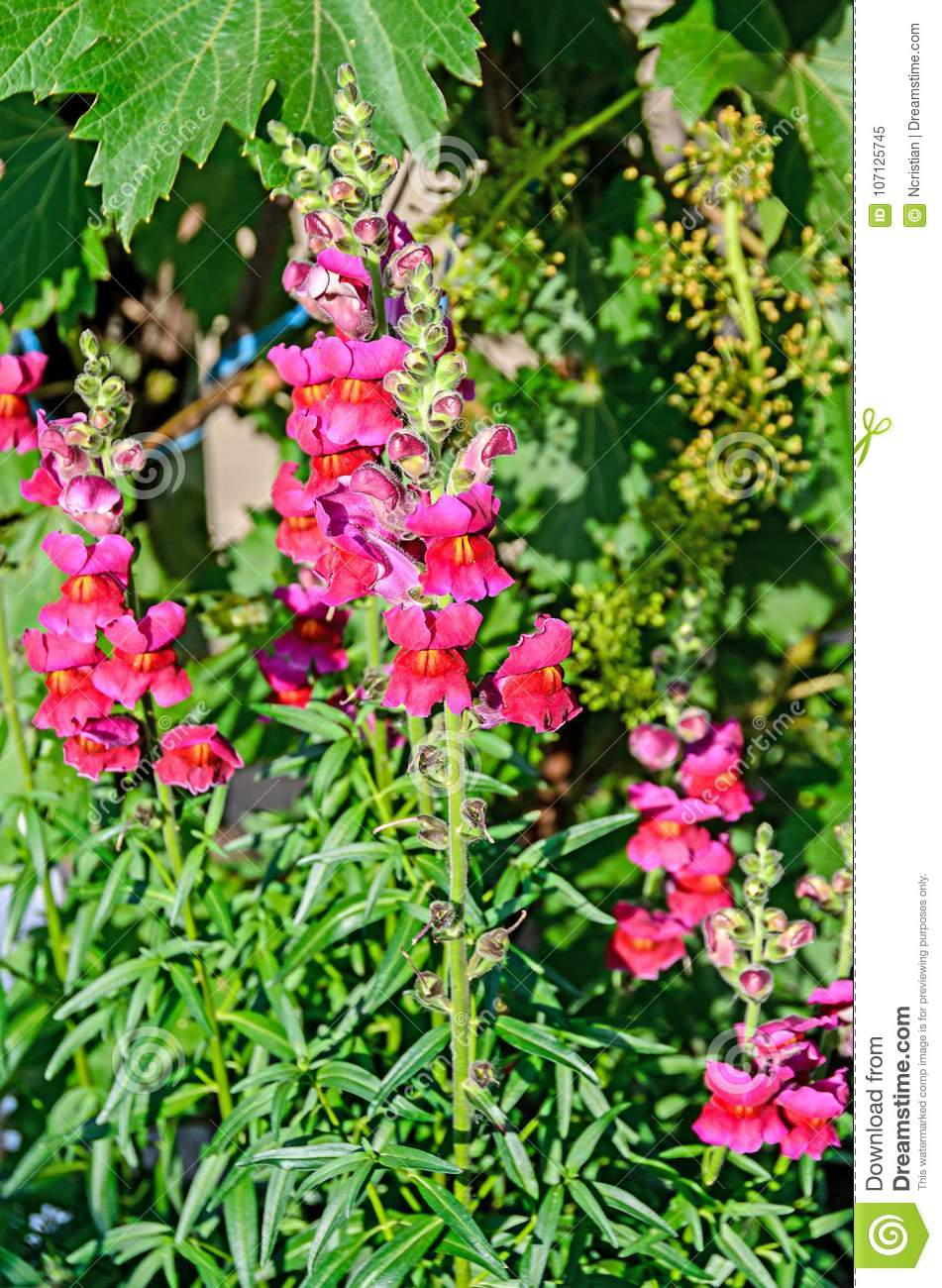 red with yellow antirrhinums dragon flowers or snapdragonsn stock
