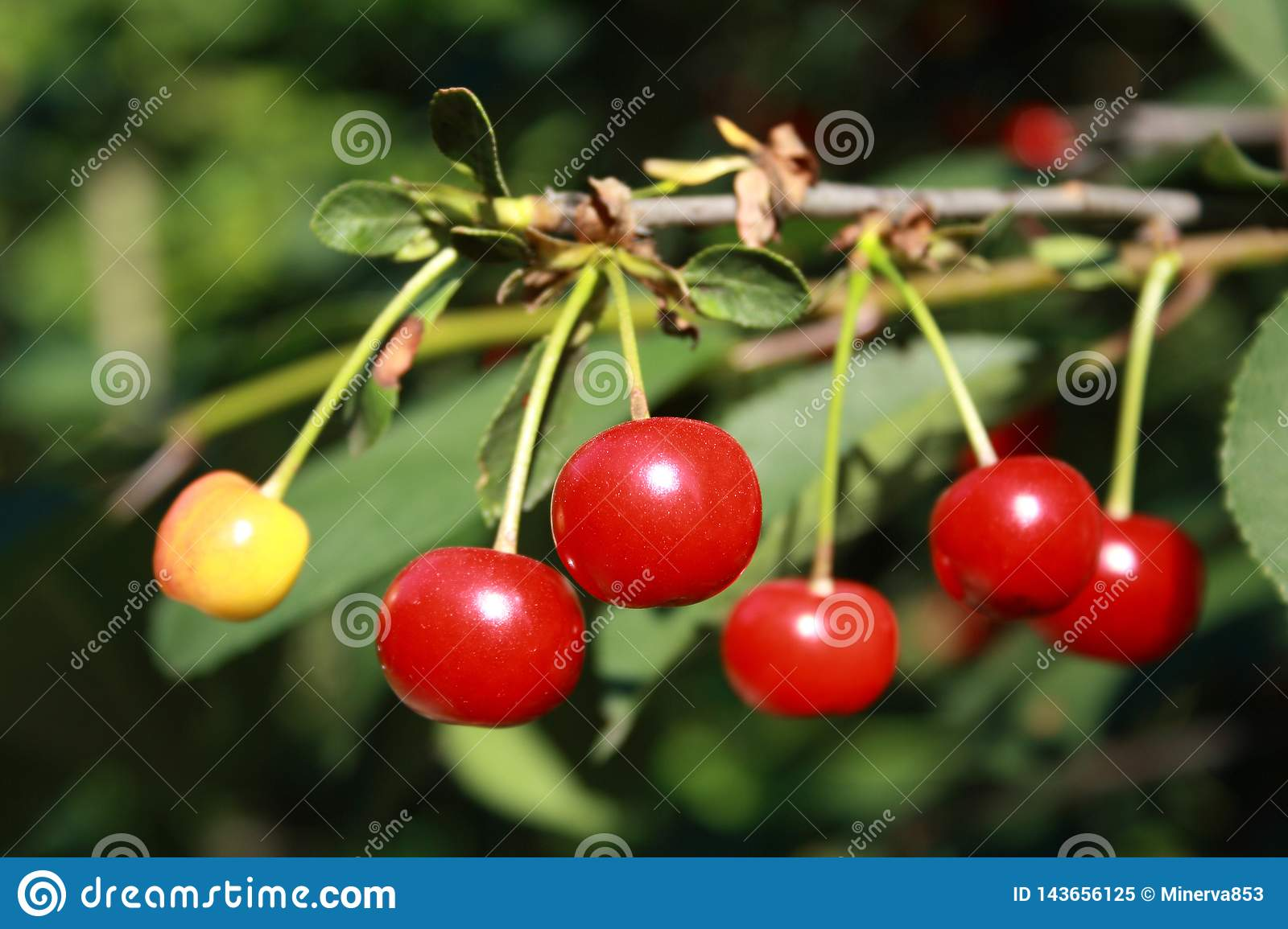 Red and yellow cherries on the branch with leaves