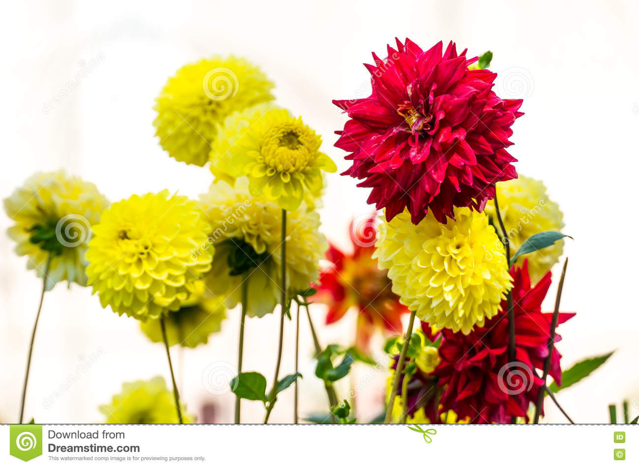 Red and yellow dahlia flower stock photo image of garden summer download red and yellow dahlia flower stock photo image of garden summer 71968690 izmirmasajfo