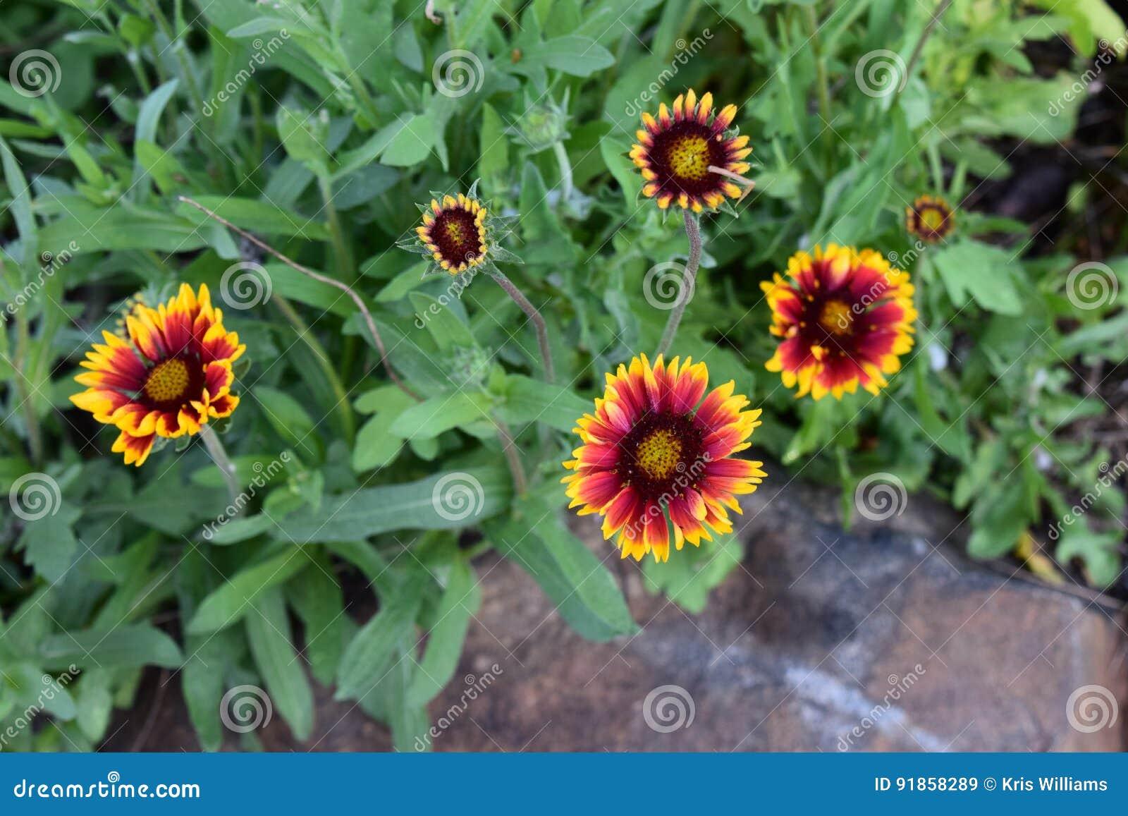 Red and Yellow Gaillardia Flowers