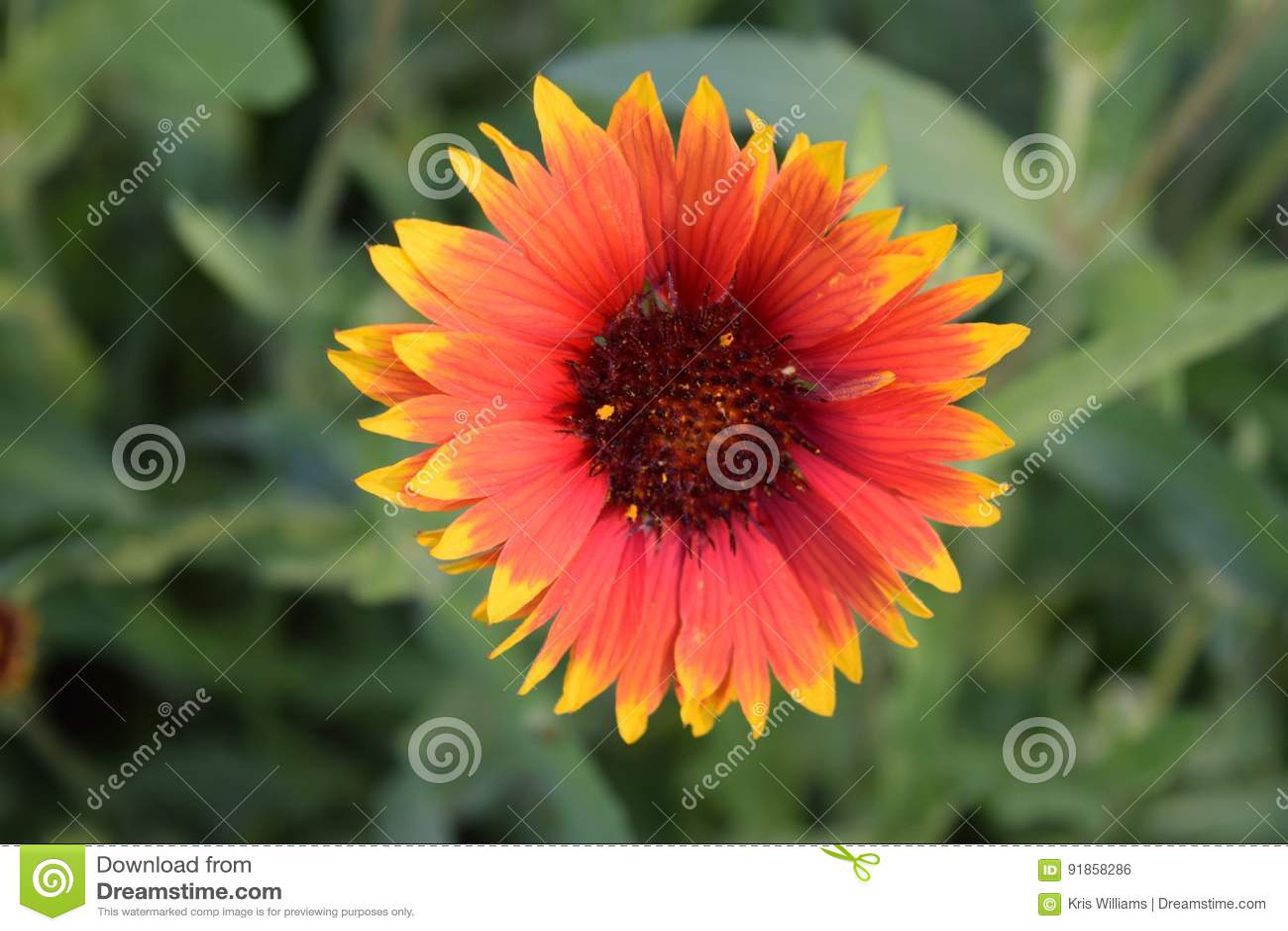Red and Yellow Gaillardia Flower