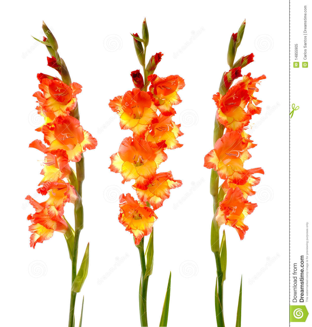 Red and yellow gladiolus royalty free stock photo image 14855905