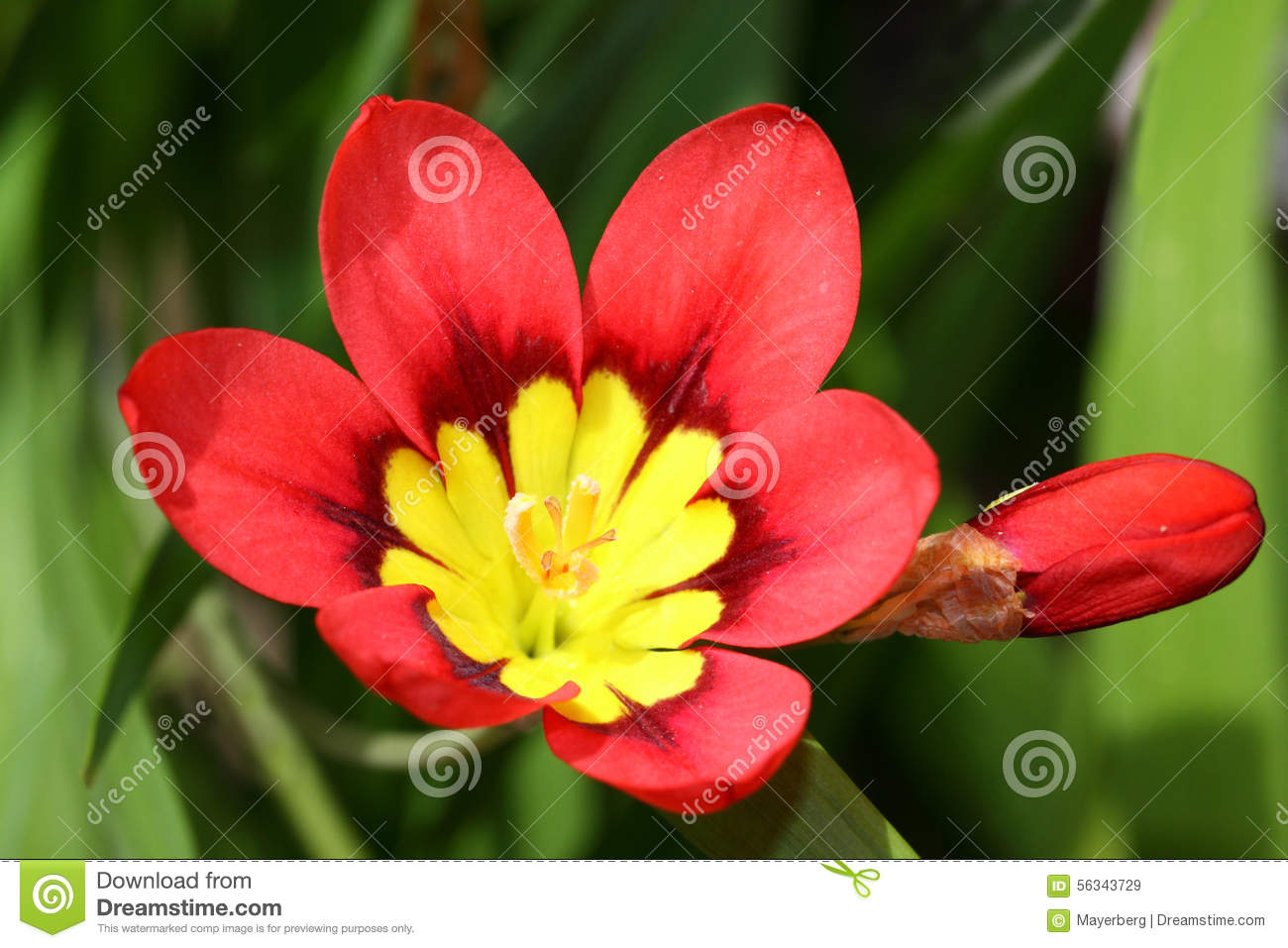 Red yellow ixia flowers stock image image of blooming 56343729 download red yellow ixia flowers stock image image of blooming 56343729 mightylinksfo