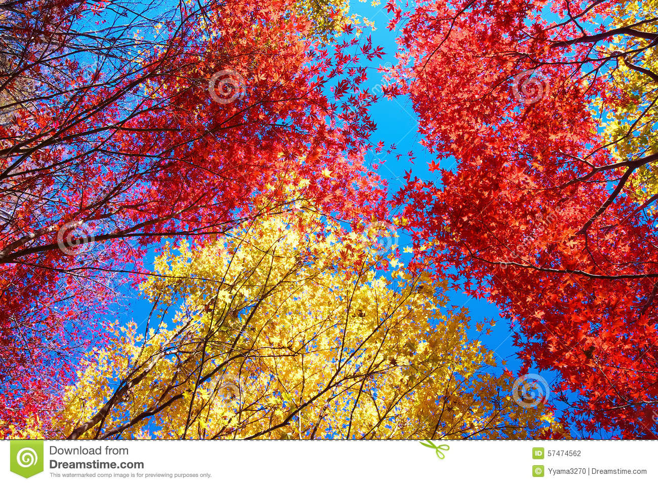 Red and yellow Japanese maple trees