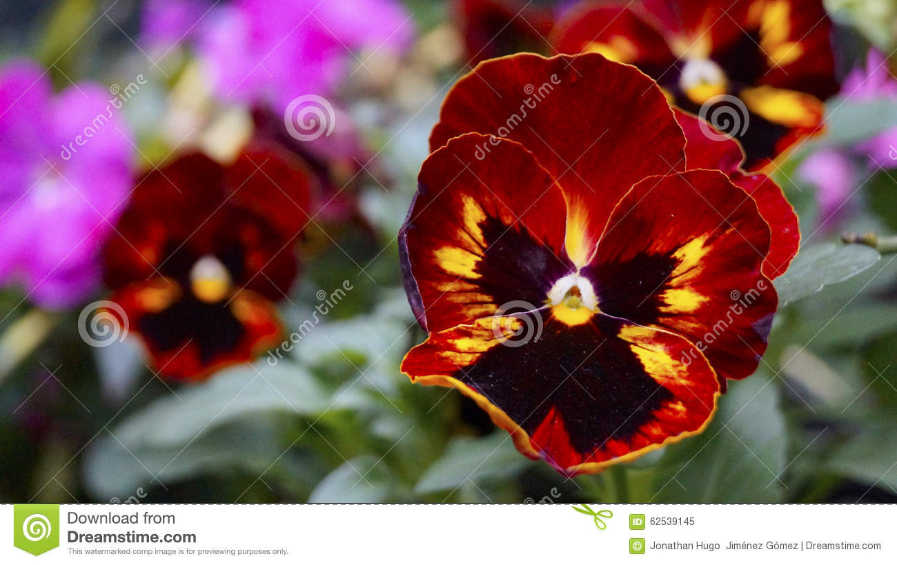 Red and yellow pansy blooms stock image image of black yellow download comp mightylinksfo