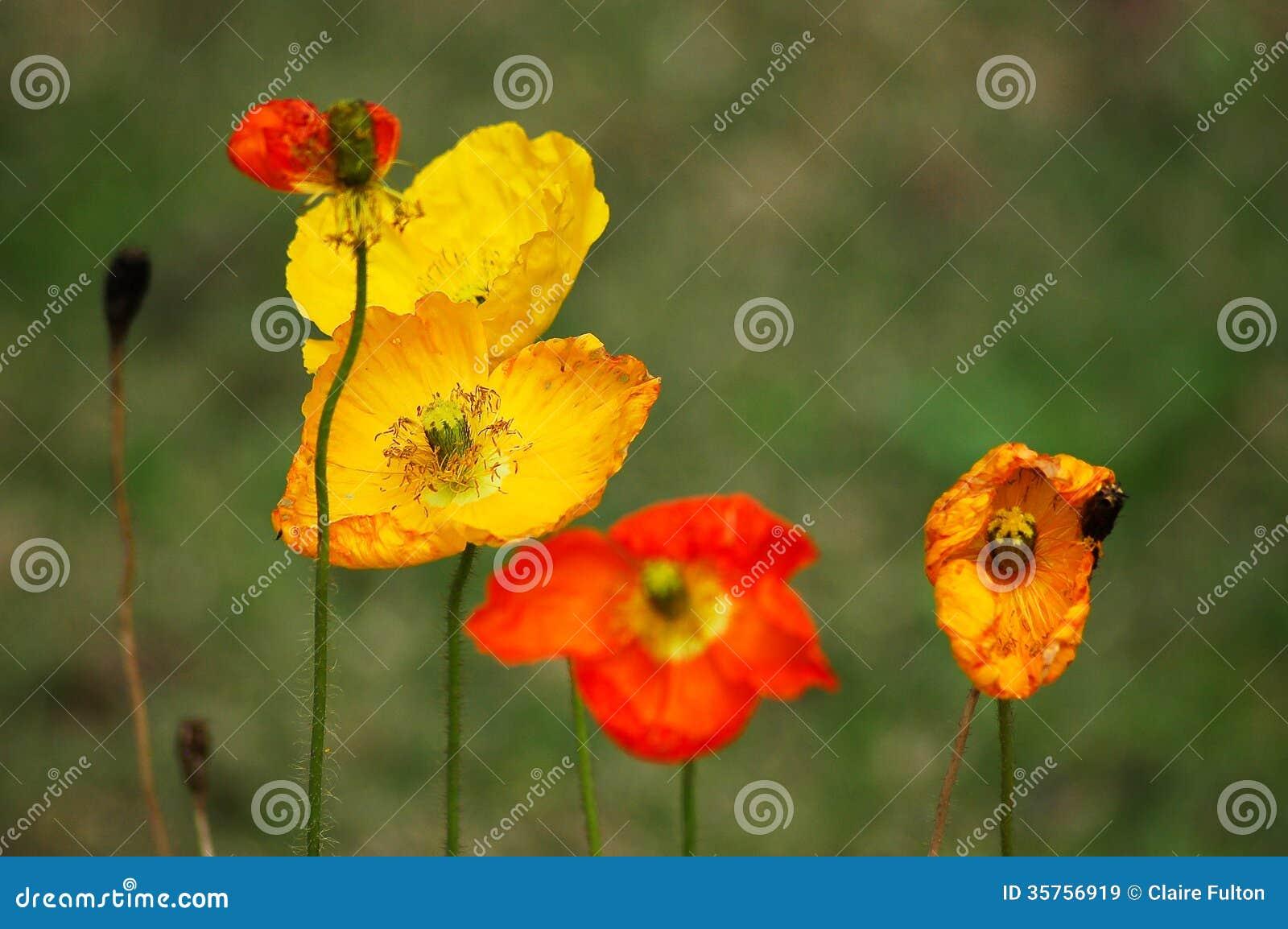 Red Yellow Poppy Flowers Stock Image Image Of Poppy 35756919