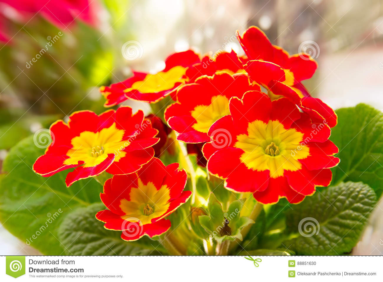 Red With Yellow Primrose Flower Stock Photo Image Of Focus Beauty