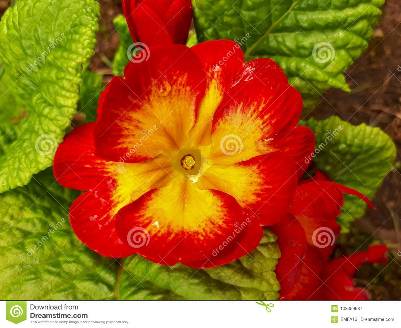 Red And Yellow Primrose Flower Stock Image Image Of Droplet