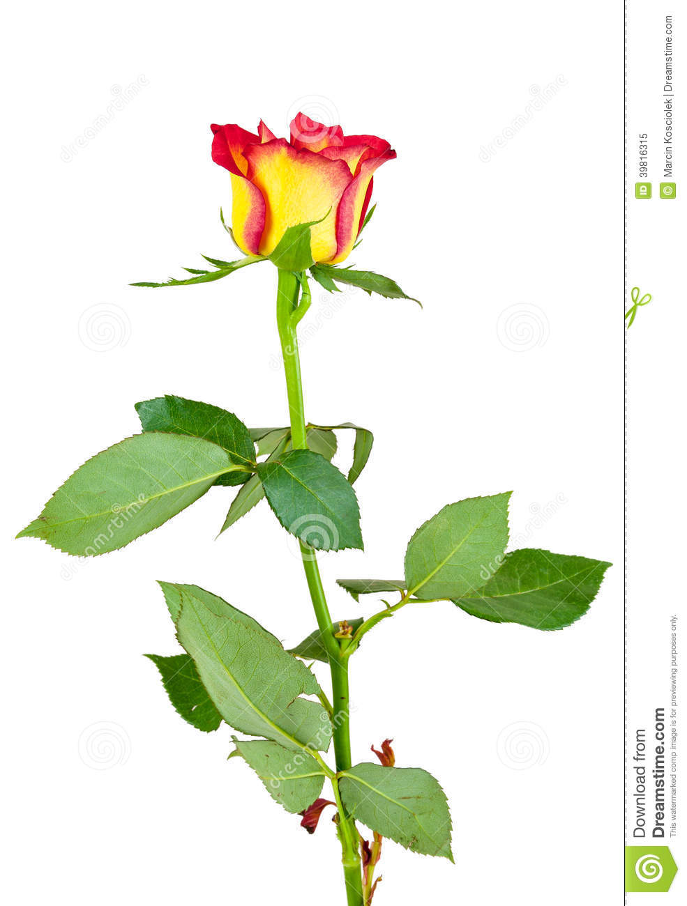 red yellow rose flower on white background stock photo