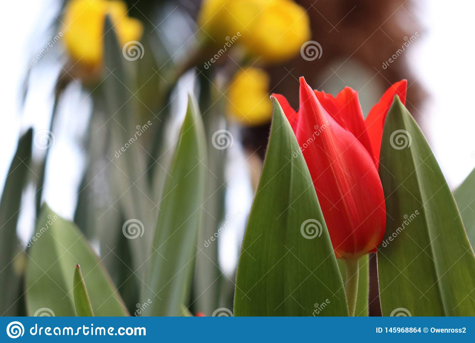 Red / Yellow tulip with green background