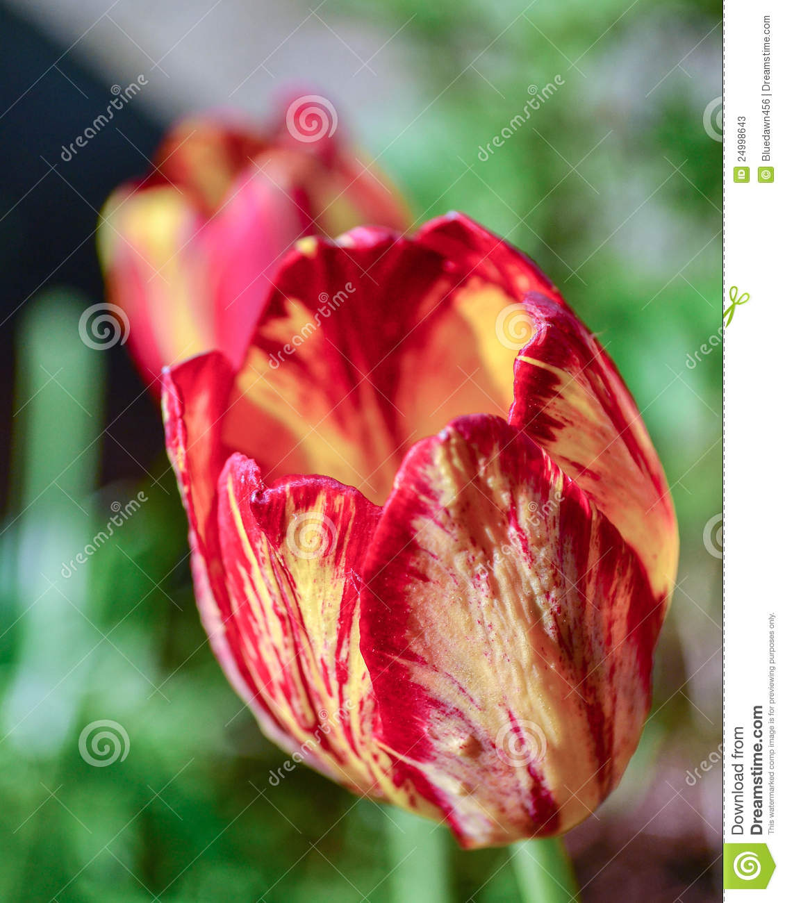 Red and yellow tulip perennial flowers stock image image of download red and yellow tulip perennial flowers stock image image of perennials isolated mightylinksfo