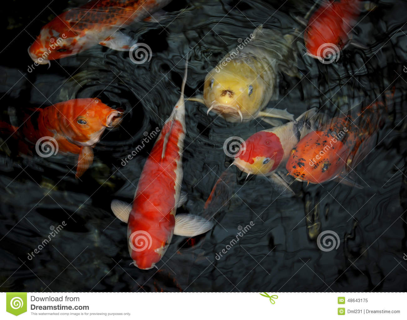 Red yellow and white koi fish stock photo image 48643175 for Red and white koi fish