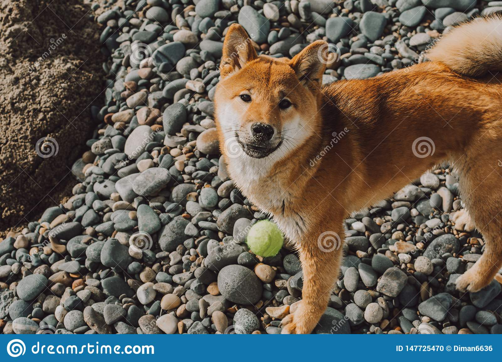 Red young dog shiba-inu standing on beach with green ball