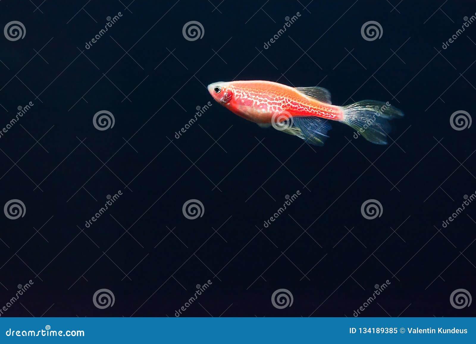 Red zebrafish on a dark blue background. Genetically modified glowing fish. Danio fish