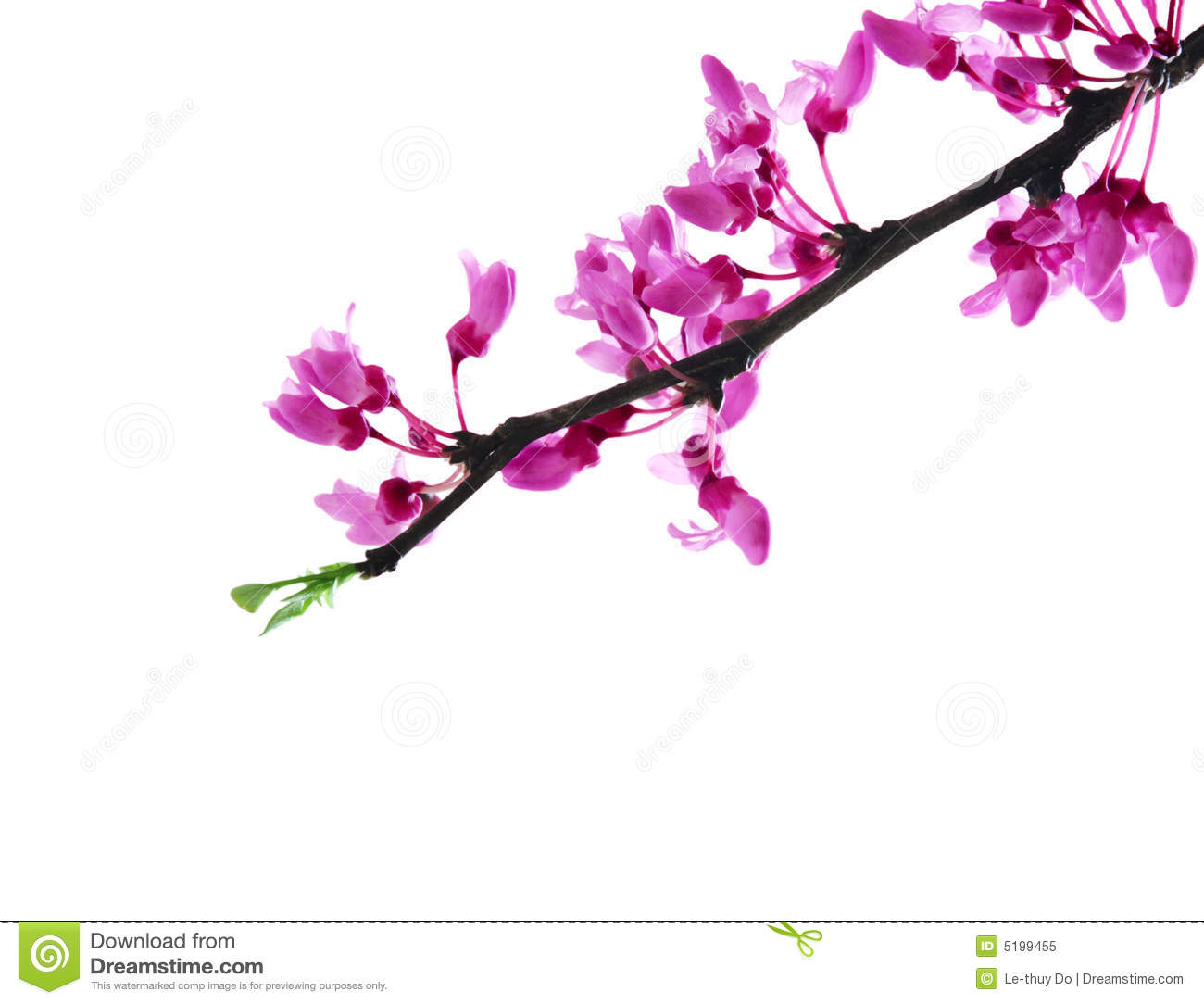 Redbud Flower stock image. Image of outdoors, branches ...