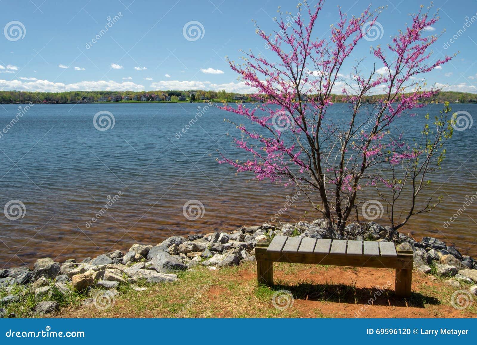 Redbud Tree, Bench and Lake