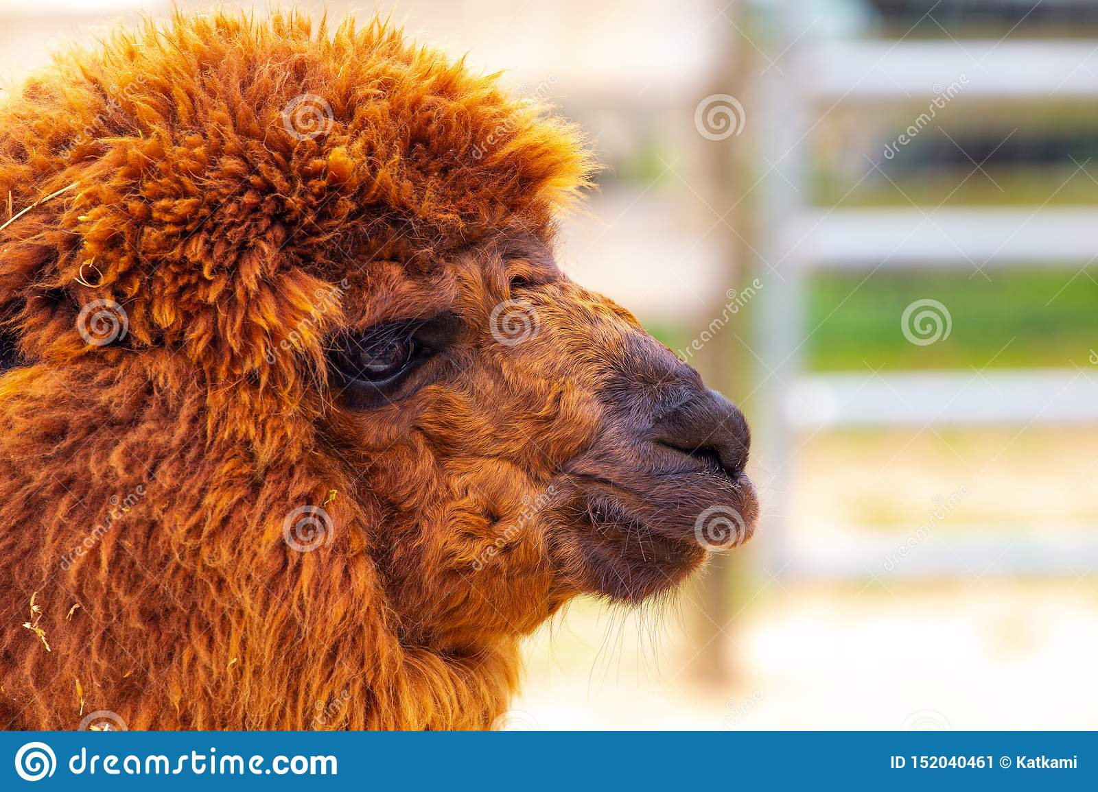 Reddish brown furry alpaca profile with fence in background