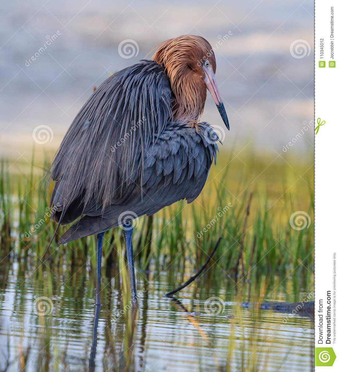 Reddish egret with bright red head of breeding colors