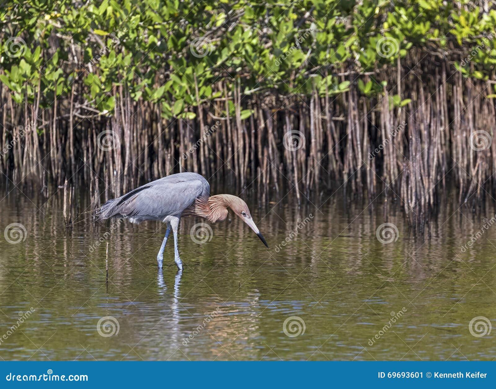 Reddish Egret Stalks Prey