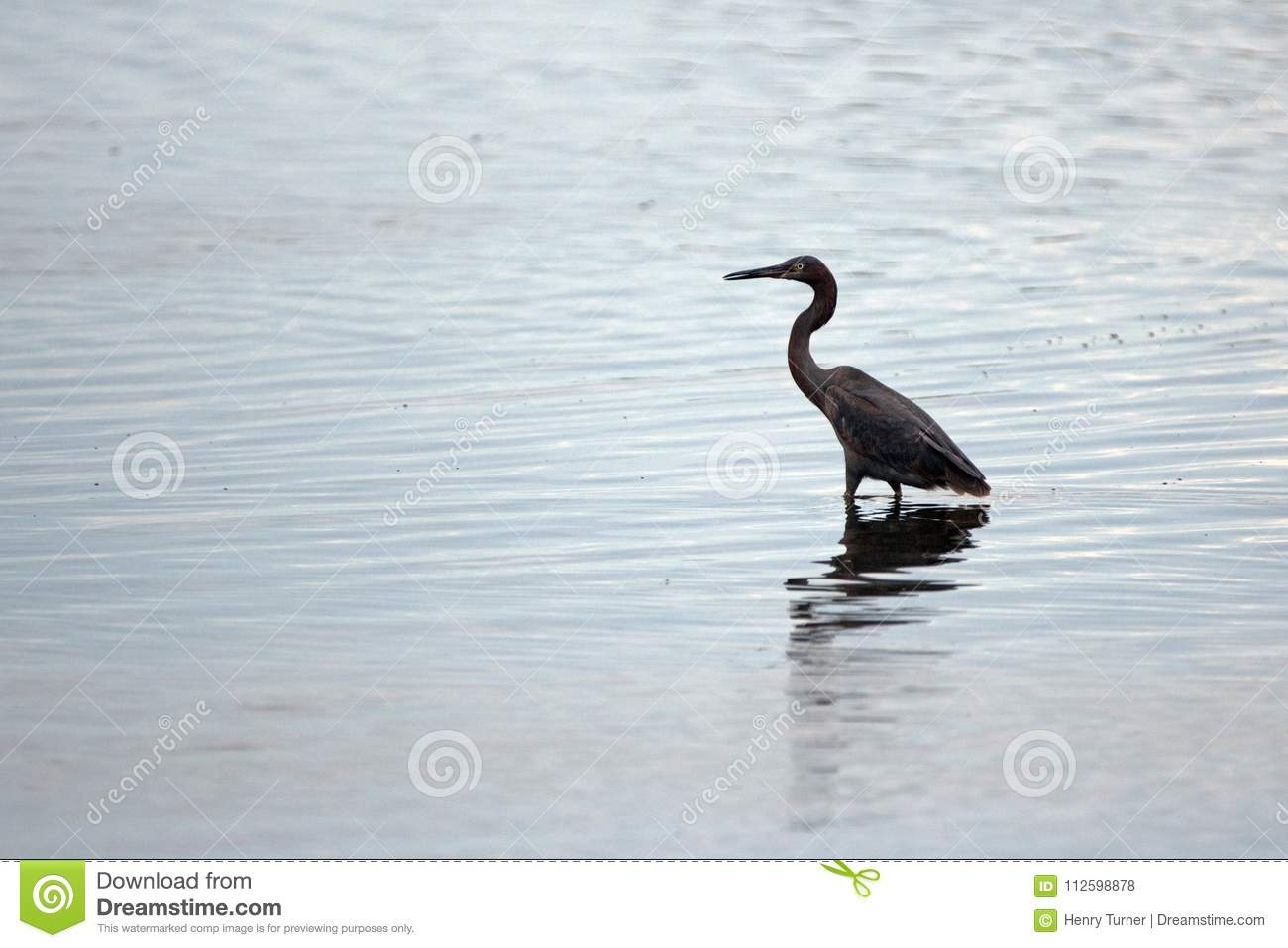 Reddish Egret wading in brackish waters of nature preserve lagoon in San Jose del Cabo in Baja California Mexico