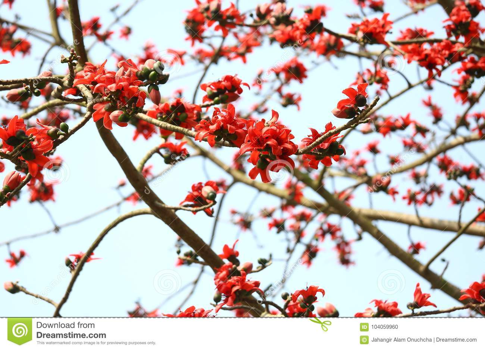 Reddish Shimul Red Silk Cotton Flower Tree At Munshgonj