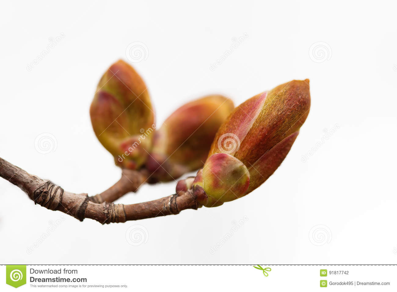 Download Reddish Tree Twig Buds On White Background. Macro View Garden Plant Branch, First Leaf. Beginning New Life Conceptual Stock Photo - Image of landscape, macro: 91817742