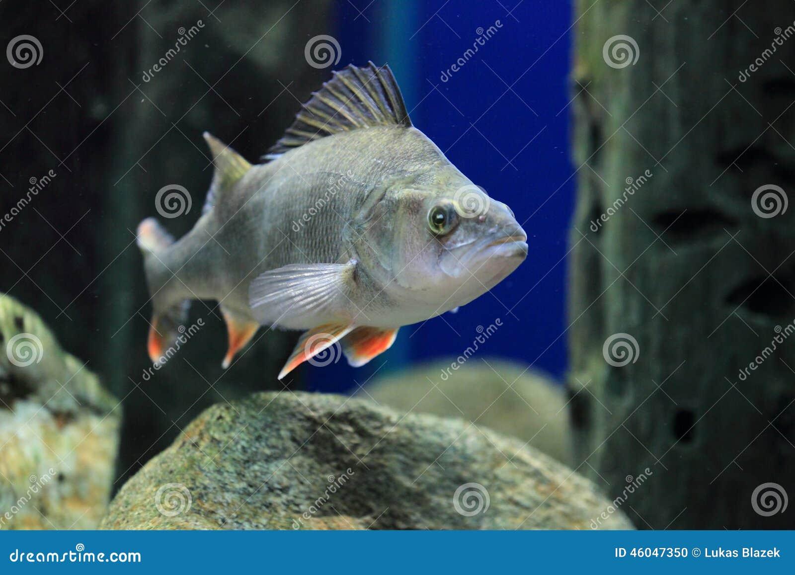 Redfin toppositie