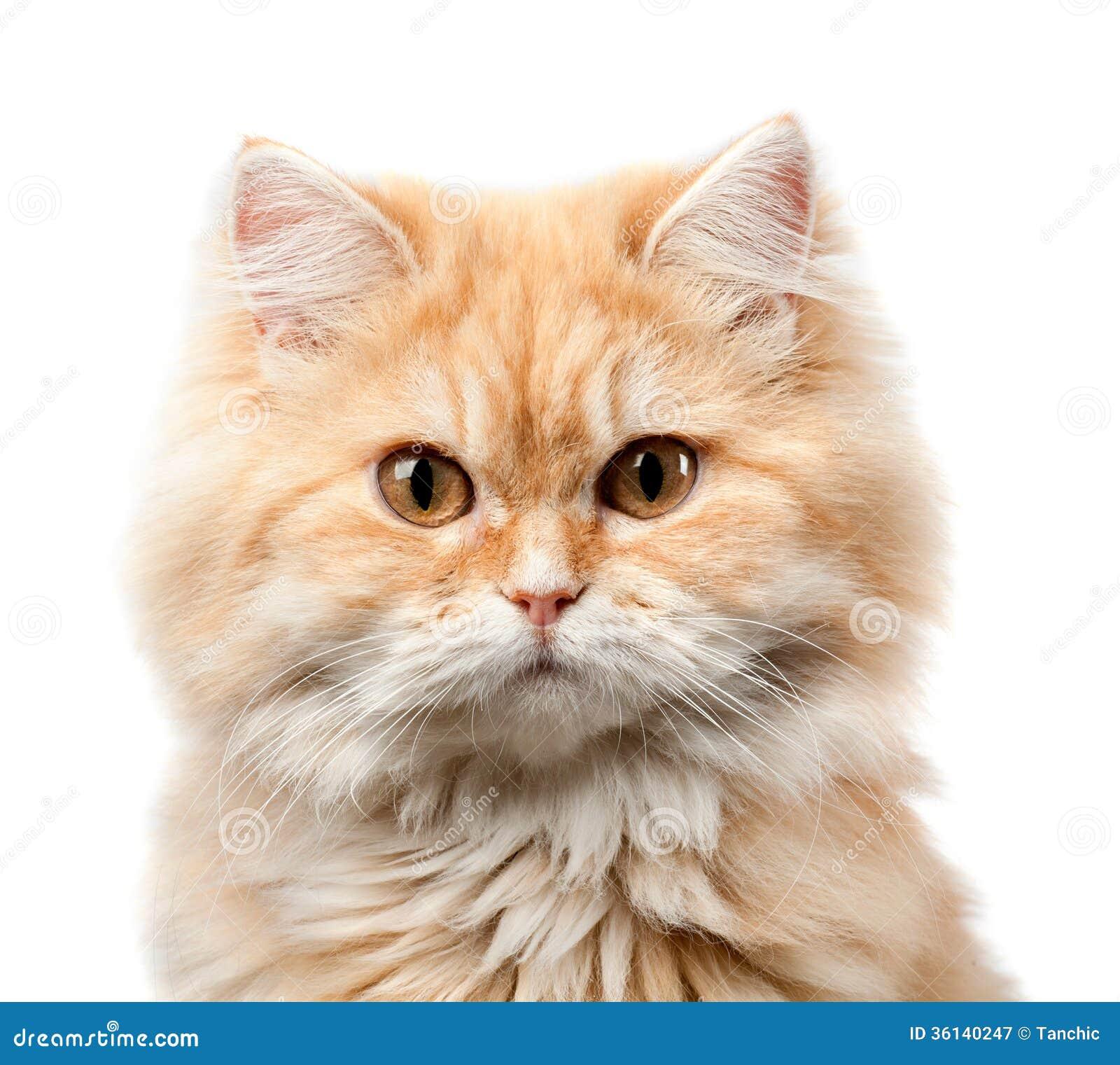 Redhead hairy cat portrait