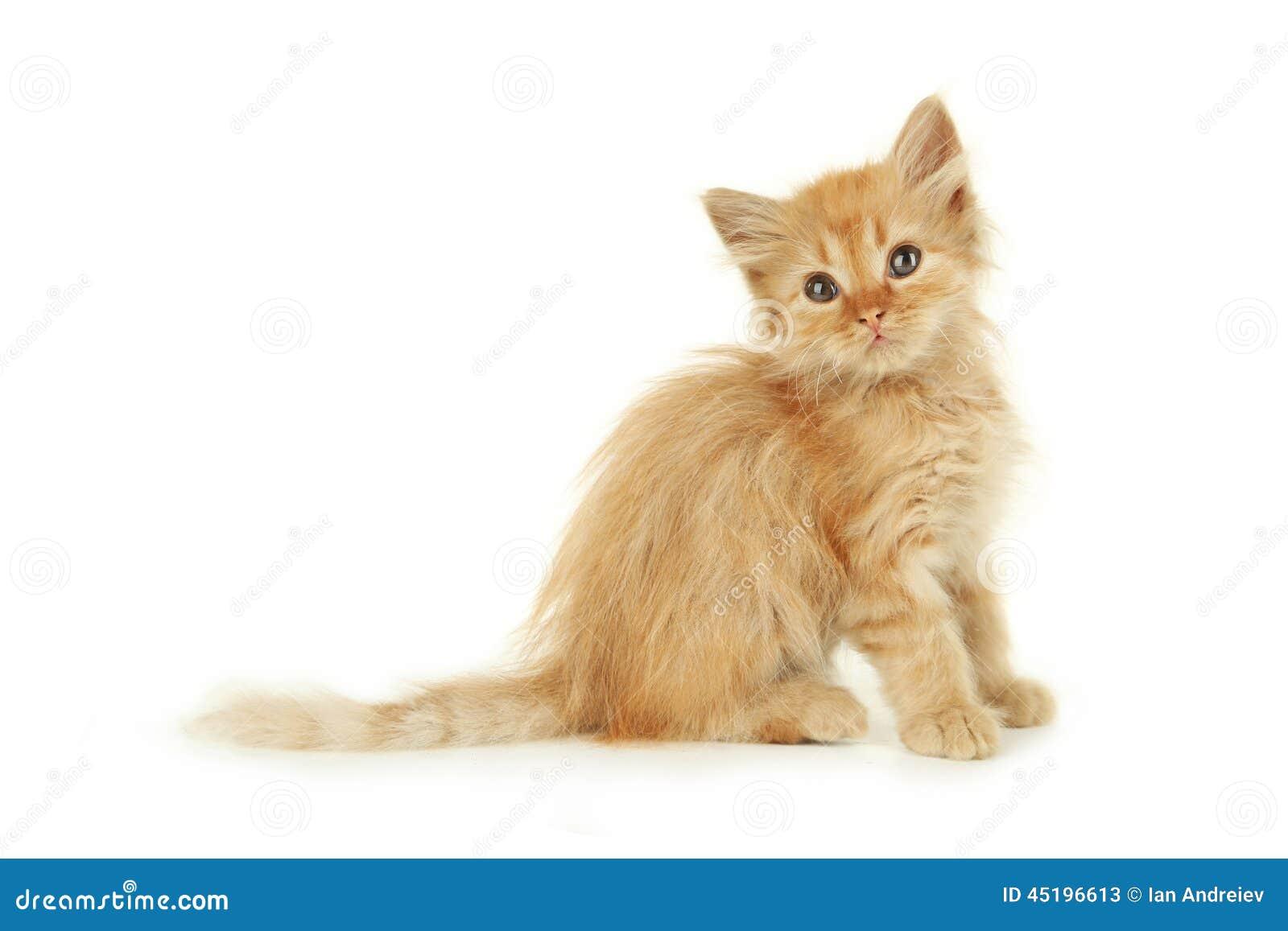 Kitten Redhead 68