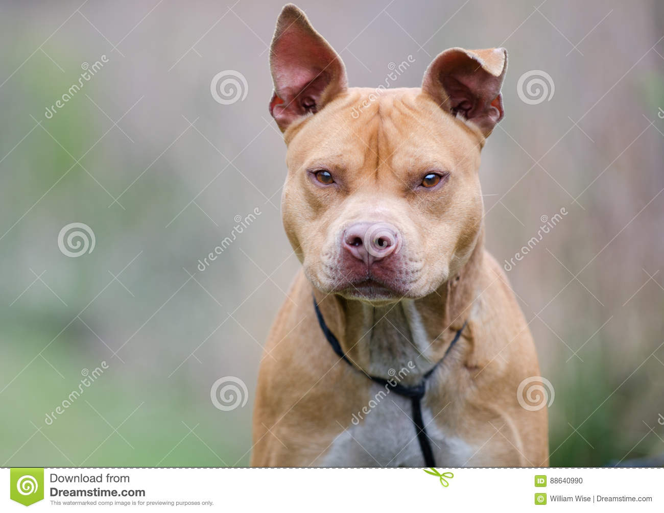 Rednose American Pitbull Terrier Dog Walton County Animal Shelter